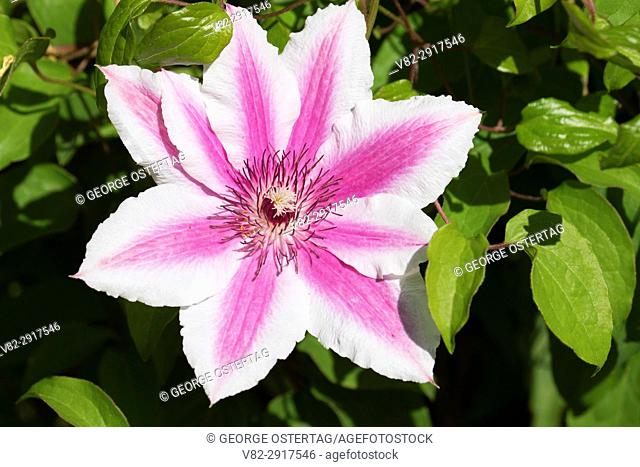 Carnaby clematis, Schreiners Iris Gardens, Keizer, Oregon