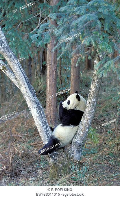 giant panda (Ailuropoda melanoleuca), sitting on branch, China, Wolong Valley, Panda centere Valley
