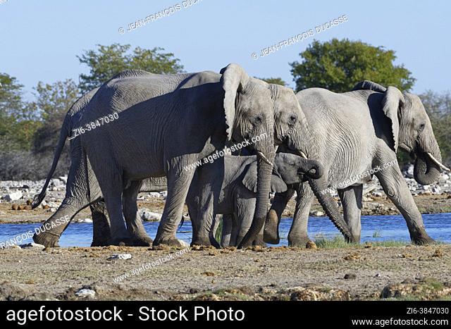 African bush elephants (Loxodonta africana), herd drinking at a waterhole, Etosha National Park, Namibia, Africa