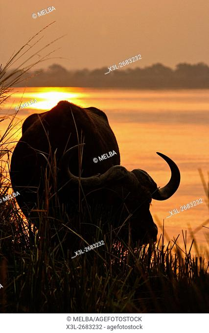 African Buffalo in Zambezi river, Syncerus caffer. Mana Pools National Park. Zimbabwe