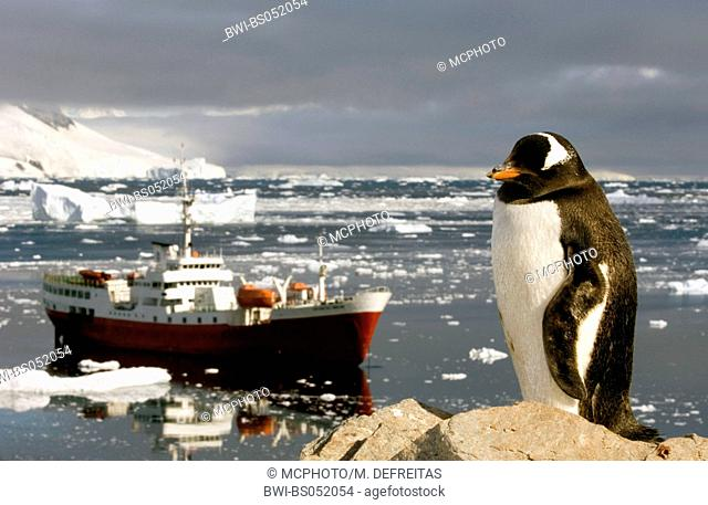 gentoo penguin (Pygoscelis papua), with research ship in the background, Antarctica
