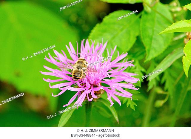 brown knapweed, brown-rayed knapweed (Centaurea jacea), bee on an inflorescence, Germany, Rhineland-Palatinate