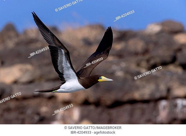 Brown Booby (Sula leucogaster), adult bird in flight, Razo, Cape Verde