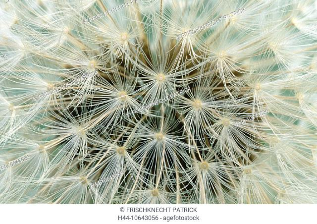 10643056, flower, blossom, flourish, blossoms, flourishes, botany, Close up, Dandelion, detail, down, withers fleecily, flight