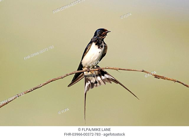 Barn Swallow Hirundo rustica adult, with wet plumage and tail fanned, perched on stem, Bulgaria, june