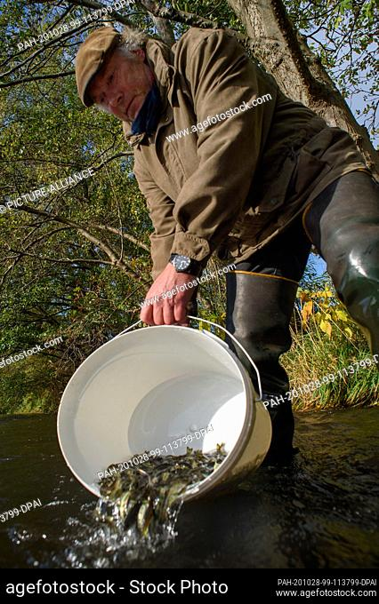 28 October 2020, Saxony-Anhalt, Zerbst/Anhalt: Robert Frenzel stands in the groove and carefully places young salmon in the water with a bucket