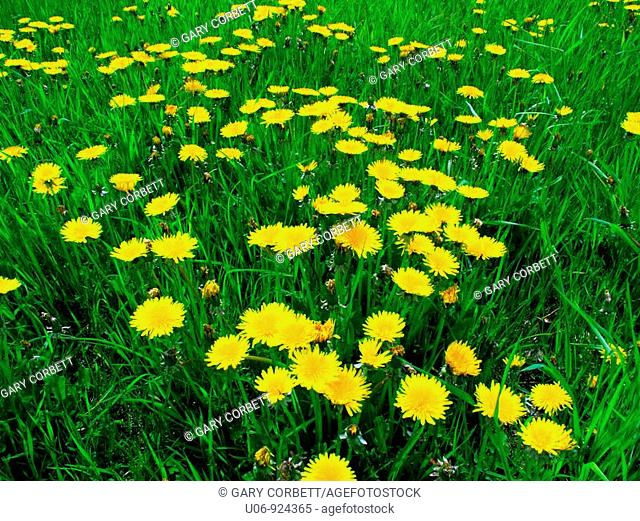 a group of dandelion weeds flowering on a lawn or field
