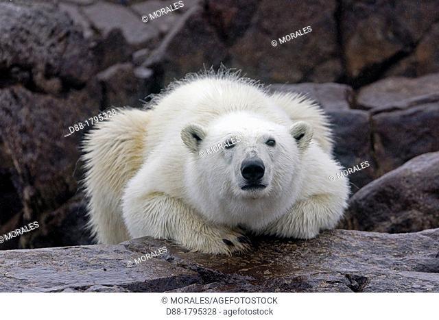 Norway , Spitzbergern , Svalbard , Polar Bear  Ursus maritimus  on the ground