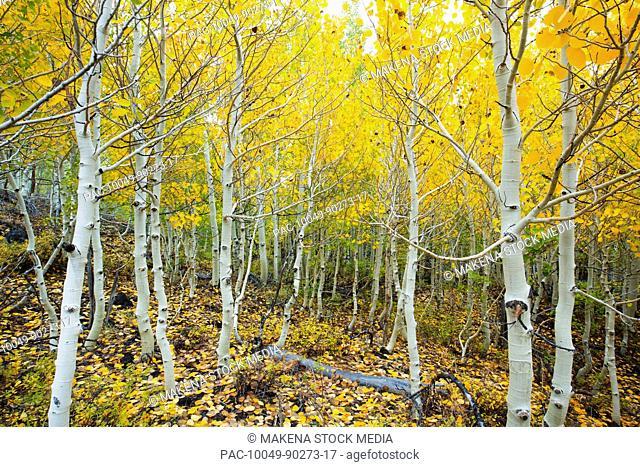 California, Eastern sierras, Beautiful aspen trees displaying vibrant fall colors