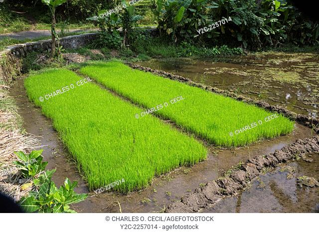 Borobudur, Java, Indonesia. Young Rice Growing in the Field