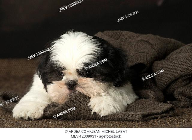 Shih Tzu puppy indoors