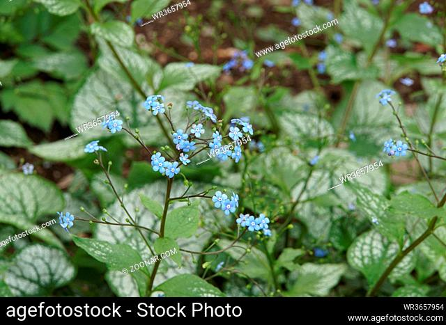 Kaukasus-Vergissmeinnicht Jack Frost, Großblättriges Kaukasusvergissmeinnicht (Brunnera macrophylla)