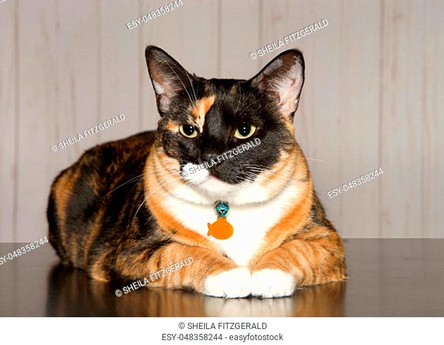 Calico cat laying on a turqoise blanket looking towards viewer. Calico cats are domestic cats with a spotted or particolored coat that is predominantly white