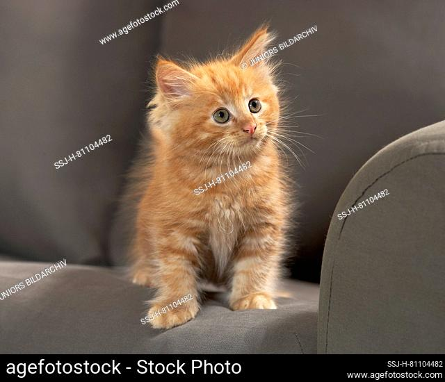 American Longhair, Maine Coon. Red tabby kitten sitting on a couch. Germany