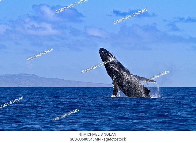 Adult humpback whale Megaptera novaeangliae breaching in the AuAu Channel between the islands of Maui and Lanai, Hawaii, USA