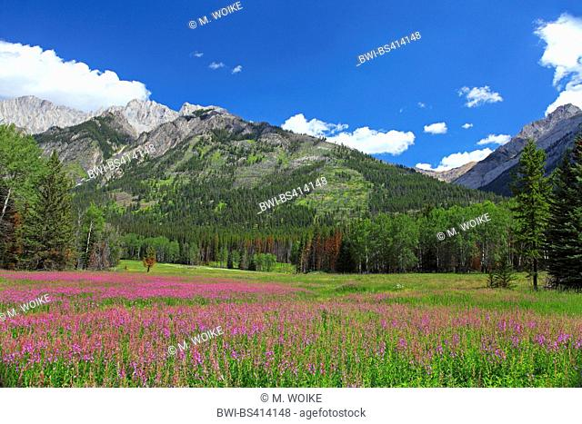 Bow River Valley with willowherb population, Canada, Alberta, Banff National Park