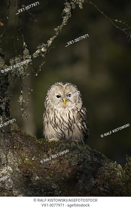 Ural Owl / Habichtskauz ( Strix uralensis ) perched in an old tree, first morning light, looks wise, most beautiful owl of Europe