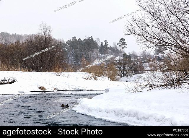 A small river with snowy shores and wild ducks in the snowfall