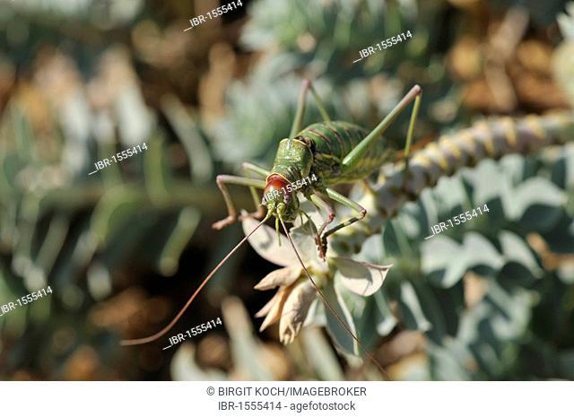 Cricket on Myrtle Spurge, Creeping Spurge or Donkey Tail (Euphorbia myrsinites), Cres island, Croatia, Europe