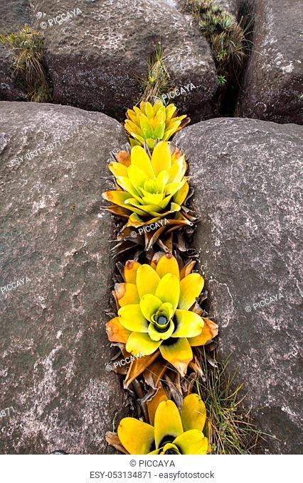 Botanical family Xyridaceae (Orectanthe sceptrum). Endemic plants, Mount Roraima, Gran Sabana. Venezuela 2015