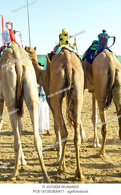 Dubai, camels with robot jockeys waiting for the race