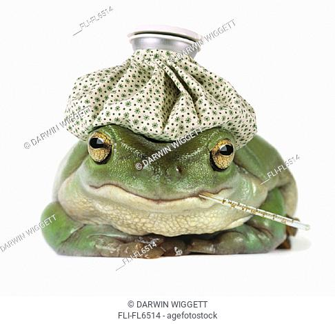 Frog with Water Bottle on Head and Thermometer in Mouth'