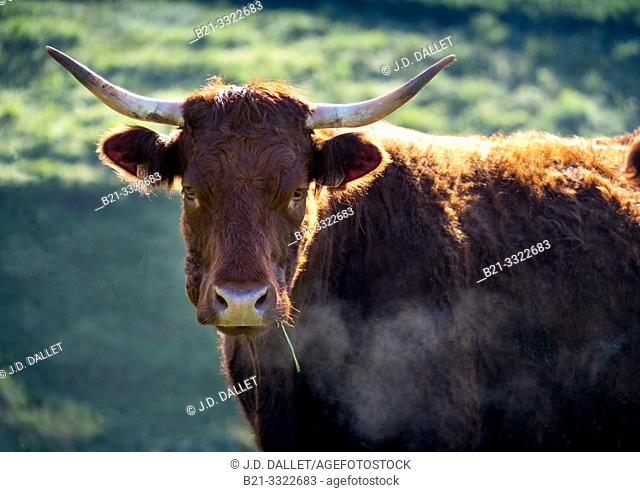 """France, Auvergne, Cantal, """"Salers"""" cow"""