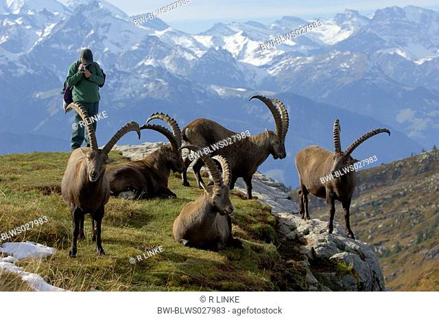 alpine ibex Capra ibex, herd and mountain hiker, Switzerland