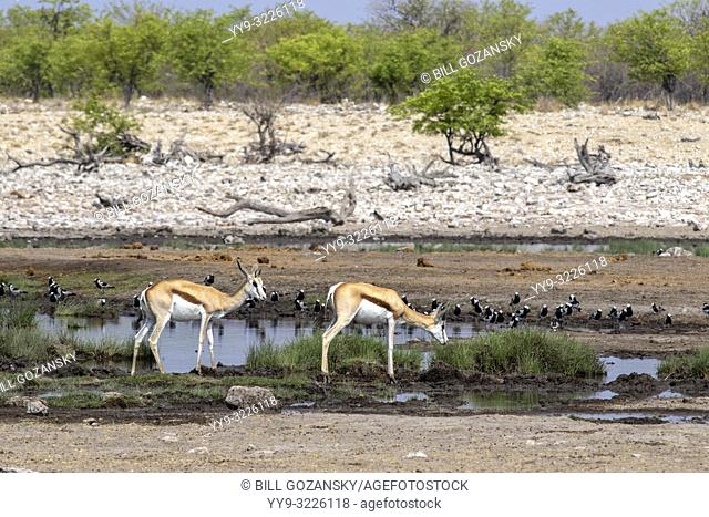 Springbok (Antidorcas marsupialis) at waterhole - Etosha National Park, Namibia, Africa
