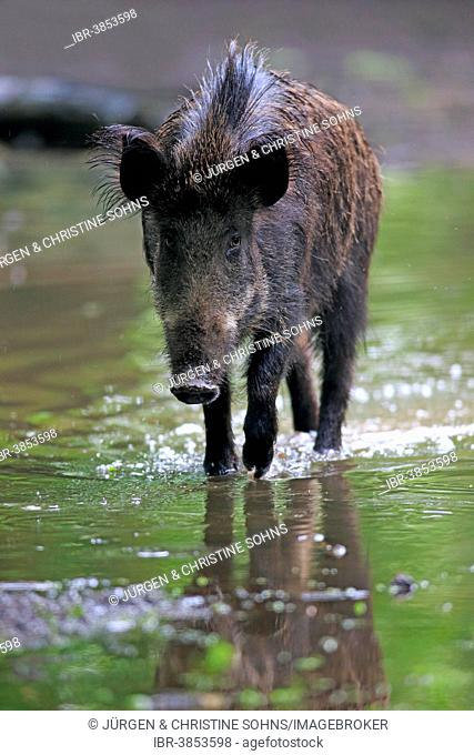 Wild Boar (Sus scrofa), young tusker in the water, Baden-Württemberg, Germany