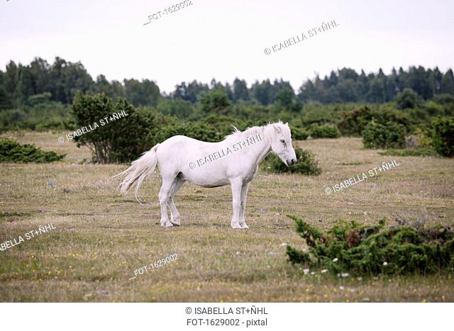 Side view of white horse standing on field against clear sky