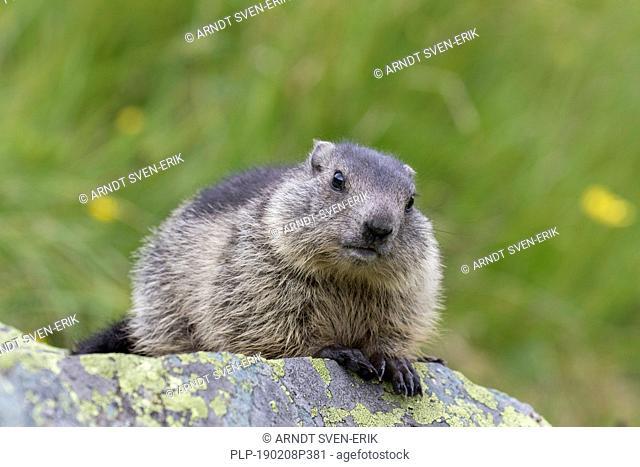 Alpine marmot (Marmota marmota) juvenile on rock in alpine pasture in summer, Hohe Tauern National Park, Carinthia, Austria