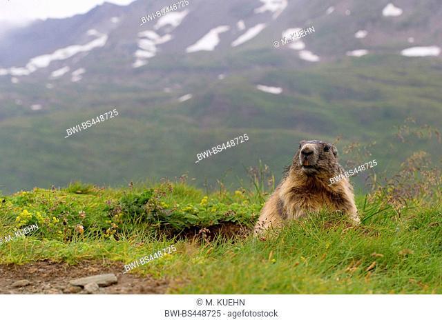 alpine marmot (Marmota marmota), at the burrow, Alps in the background, Austria