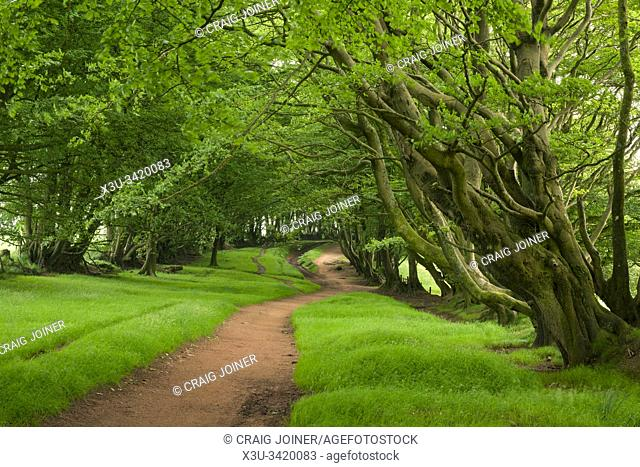 Beech trees in summer lining Drove Road in the Quantock Hills, Somerset, England