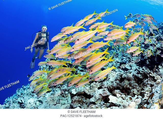 Diver and schooling Yellowfin goatfish (Mulloidichthys vanicolensis); Yap, Micronesia