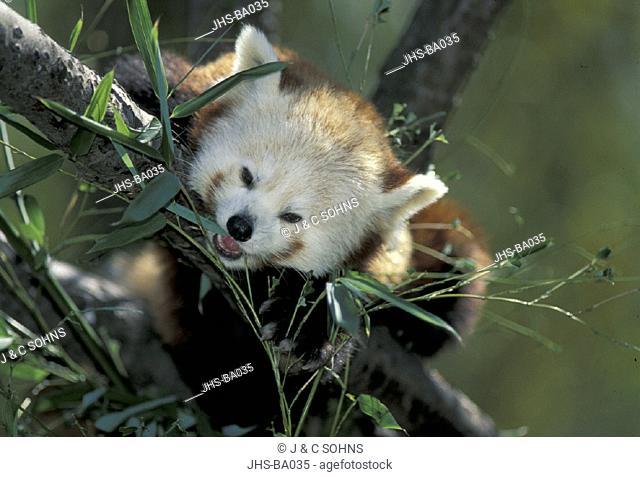 Red Panda Ailurus fulgens fulgens Asia , Adult feeding , Portrait