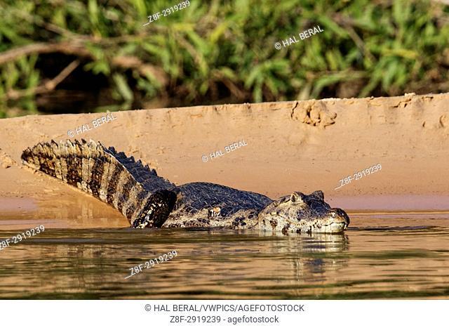 Yacare Caiman (Caiman yacare) Pantanal, Brazil