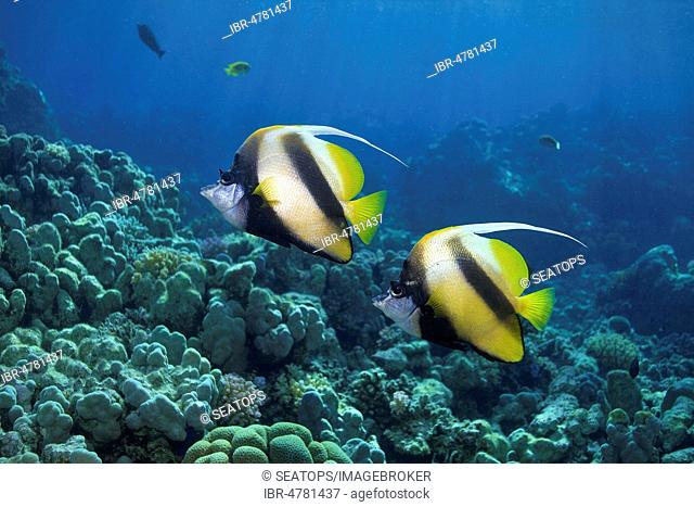 Two Red Sea bannerfishes (Heniochus intermedius) in the coral reef, Soma Bay, Egypt
