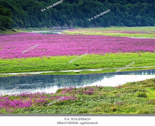Germany, Hesse, Vöhl, nature and national park Kellerwald-Edersee, inflorescences of the purple loosestrife in the 'Ederfeldern' near Herzhausen