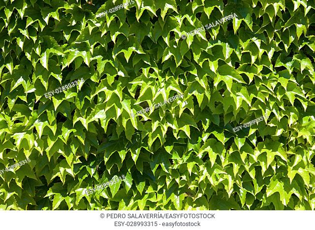 Ivy background at high resolution