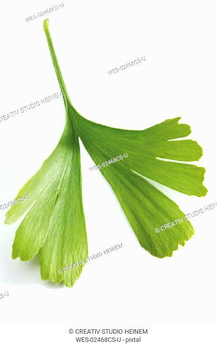 Ginkgo leaf, Ginkgo biloba