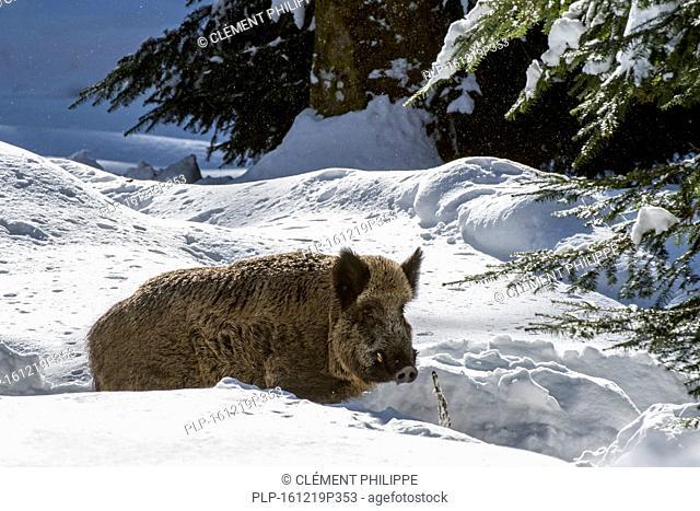 Wild pig (Sus scrofa) boar foraging in deep snow in pine forest in winter