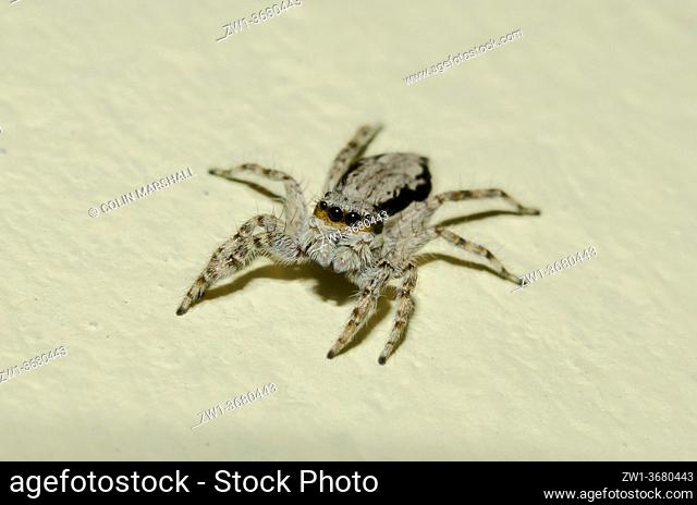 Female Jumping Spider (Menemerus bivittatus), Klungkung, Bali, Indonesia