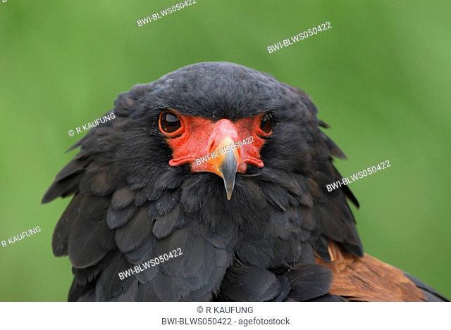 bateleurbateleur eagle Terathopius ecaudatus, male