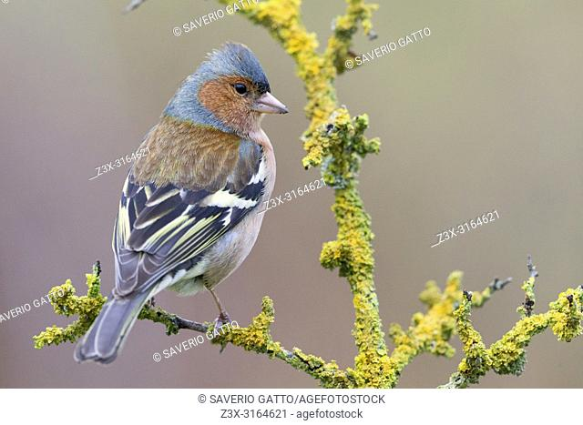 Common Chaffinch, Adult male standing on a branch, Campania, Italy (Fringilla coelebs)