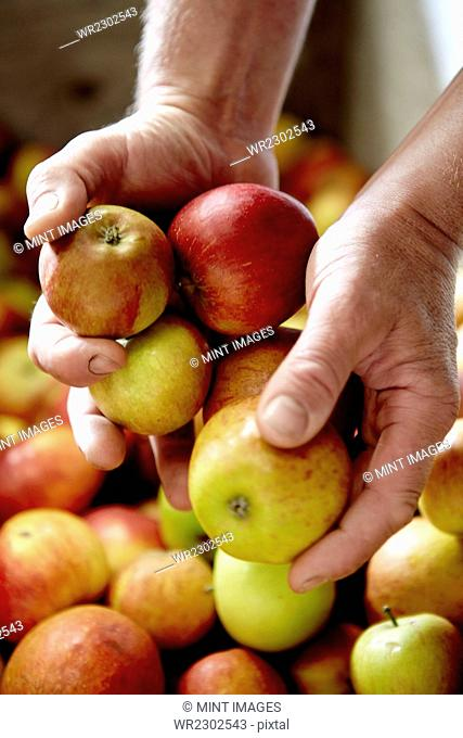 A family cider making business. A person sorting apples