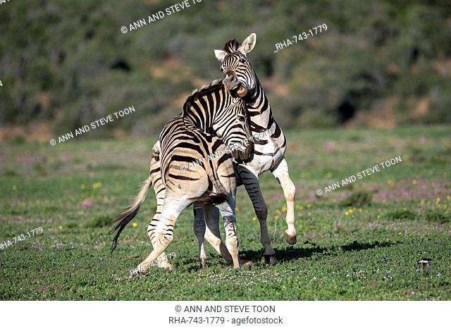 Plains zebra, Equus quagga, fighting, Addo Elephant national park, Eastern Cape, South Africa