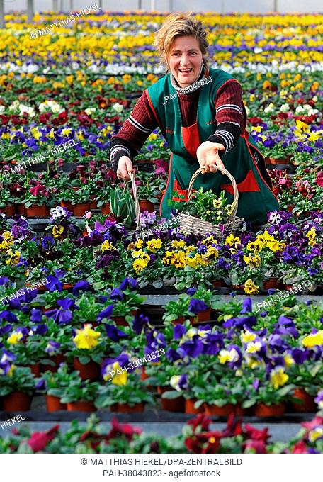 Horticulturist Claudia Forkert examines some of her 40 000 pansy flowers at the gardening firm Ruelcker in Dresden, Germany, 06 March 2013