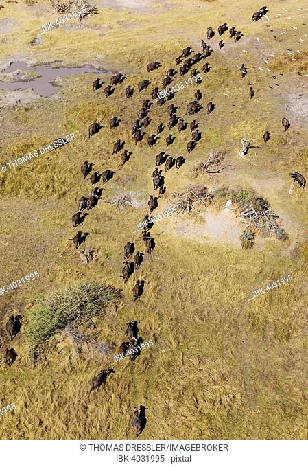 Cape Buffaloes (Syncerus caffer caffer), roaming herd, flying Cattle Egrets (Bubulcus ibis), Okavango Delta, Botswana