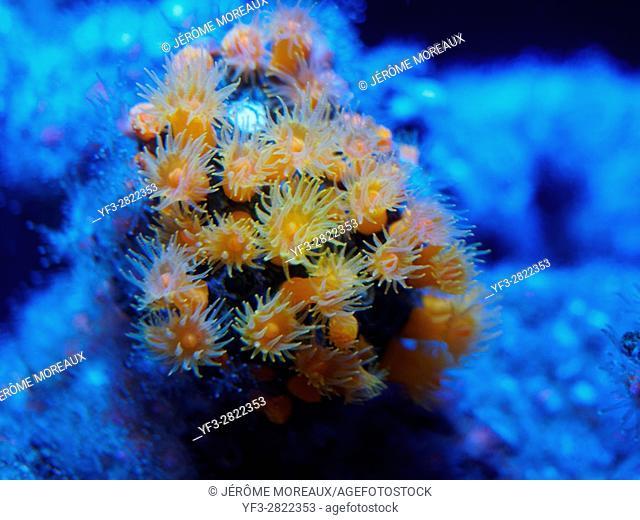 Coral polyps, Tubastrea sp